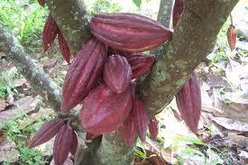2011-08-10-Hama Helopeltis Serang Kakao dan Jambu Mete di Flores Timur